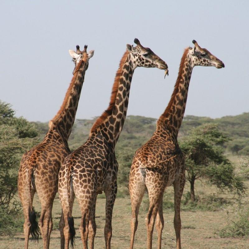 tanzania pequeño grupo jirafa