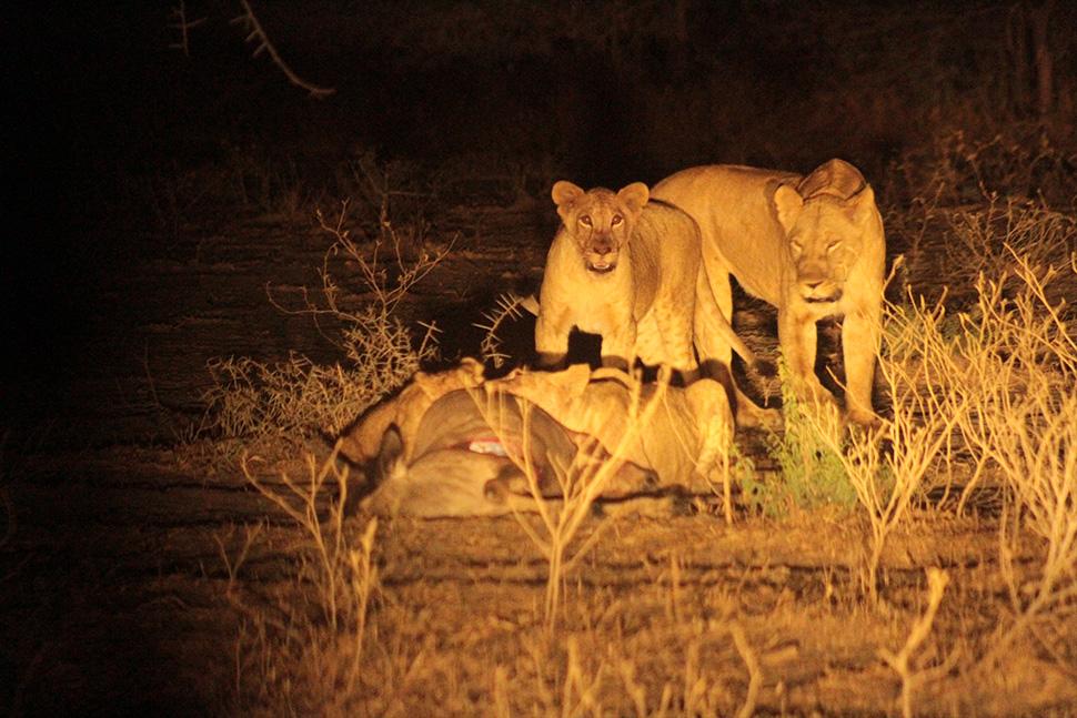 leones por la noche